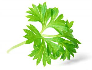 1115181_parsley_leaf